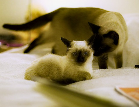 Siamese Cat and Her Kitten