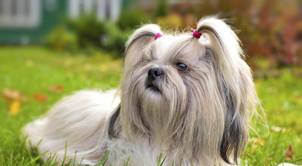 shih tzu purebred purebred star shih tzu the smart living network 5512